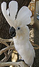 Umbrella Cockatoo (Cacatua alba) -Free Flight Aviary -San Diego.jpg
