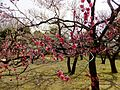 Ume Garden in the Kyōdo-no-mori Park 20130310-1.jpg