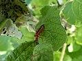 Unidentified Cantharidae Foci dell'Avisio 02.jpg