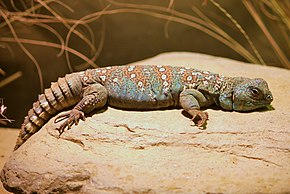 Description de l'image Uromastyx ocellata at the Denver Zoo-2012 03 12 0717.jpg.