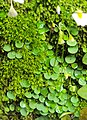 Utricularia striatula 06.JPG