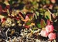 Vaccinium uliginosum plant 1 upernavik trimmed 2007-07-07.jpg