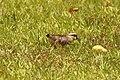 Vanellus chilensis (30579275992).jpg