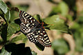Variable Checkerspot Butterfly in California.jpg