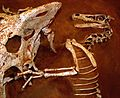 Velociraptor and Protoceratops - Fighting dinosaurs.jpg