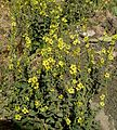 Verbascum sp. - Flickr - gailhampshire (3).jpg