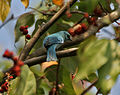 Verditer Flycatcher (Eumyias thalassina) on a Kamala (Mallotus philipensis) tree W Picture 145.jpg