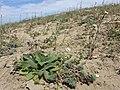 Veronica praecox + Alyssum alyssoides + Arabis auriculata sl1.jpg