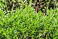 Veronica truncatula in Christchurch Botanic Gardens 02.jpg