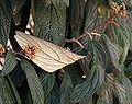 Viburnum.rhytidophyllum.jpg