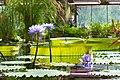 Victoria amazonica in Botanical Garden of V.L. Komarov Botanical Institute (Saint Petersburg).jpg
