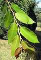 Villosa leaves.jpg