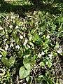Viola alba subsp. scotophylla s. str. sl14.jpg