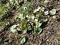 Viola alba subsp. scotophylla s. str. sl8.jpg