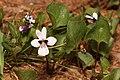 Viola cuneata 4658.JPG