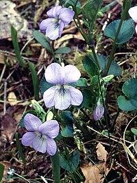 Viola reichenbachiana Jordan ex Boreau
