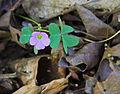 Violet wood sorrel Oxalis violacea.jpg