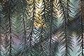 Vrste biljaka u svetosavskom parku u Nišu (17).jpg
