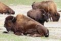 Waldbison Bison bison athabascae Tierpark Hellabrunn-15.jpg