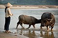 Walking the water buffalo to the water.jpg
