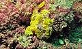 Warty Frogfish (Antennarius maculatus) (6086372728).jpg