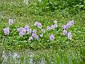 Water Hyacinths (Eichhornia crassipes) (13739218794).jpg