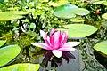 Water Lily at NCSU Arboretum.jpg
