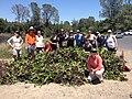 Water hyacinth (33076272752).jpg