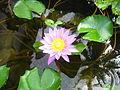 Waterlily (238959085).jpg