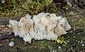 Weißliche Drüsling Exidia thuretiana.jpg
