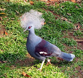 Western Crowned Pigeon (Goura cristata) in TMII Birdpark.jpg