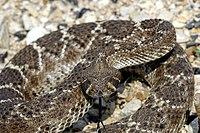 200px-Western_Diamondback_Rattlesnake.jpg