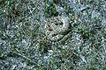 Western diamondback rattlesnake crotalus atrox.jpg