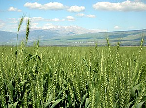 Hula Valley - A wheat field in the Hula Valley, against the background of Mount Hermon, March 2007.