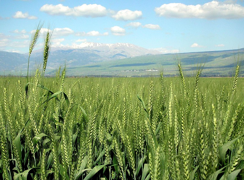 File:Wheat-haHula-ISRAEL2.JPG