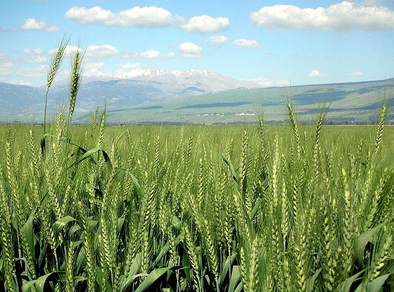Bestand:Wheat-haHula-ISRAEL2.JPG
