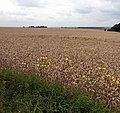 Wheat Field with Wild Flowers - geograph.org.uk - 930237.jpg