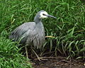 White-Faced Heron - Nga Manu reserve.jpg