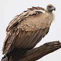 White-backed Vulture, Gyps africanus, at Kgalagadi Transfrontier (46112752362).jpg