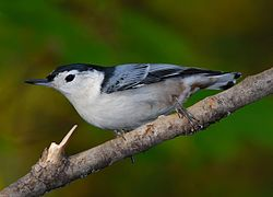 White-breasted Nuthatch (Sitta carolinensis)2 on branch.jpg