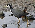 White-breasted Waterhen (Amaurornis phoenicurus ) - Flickr - Lip Kee.jpg