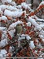 White-browed Tit Warbler (Leptopoecile sophiae) (25722949805).jpg