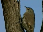 File:White-browed Treecreeper.ogv