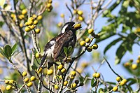 White-eared Barbet (Stactolaema leucotis) eating fruit