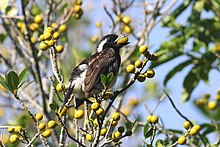 White-eared Barbet (Stactolaema leucotis) eating fruit.jpg
