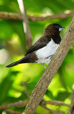 Blackbilled magpie  Wikipedia