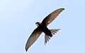 White-rumped swift, Apus caffer, at Suikerbosrand Nature Reserve, Gauteng, South Africa (30511370695).jpg