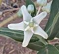 White Calotropis gigantea flower.jpg