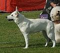 White Swiss Shepherd 2.jpg