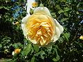 Wikimedia-rose-comtes-de-champagne-DSCN9334.JPG